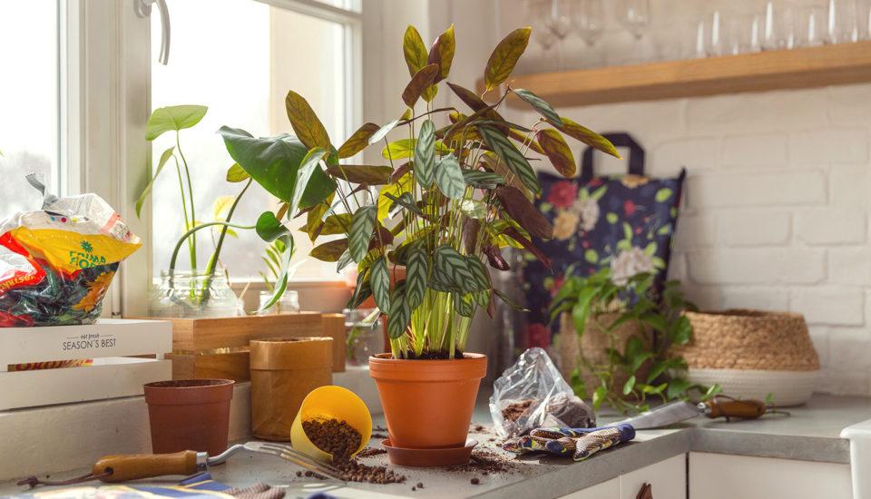 Czy poprawnie przesadzasz rośliny pokojowe? Przeczytaj instrukcję krok pokroku